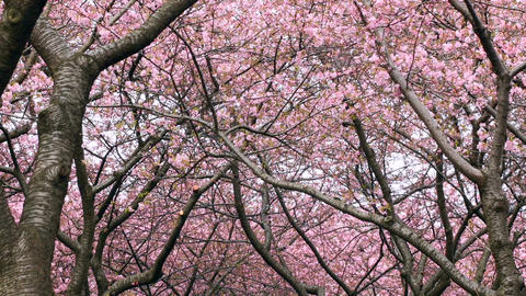 Low angle zoom out shot from a blooming cherry blossom forest above ビデオ