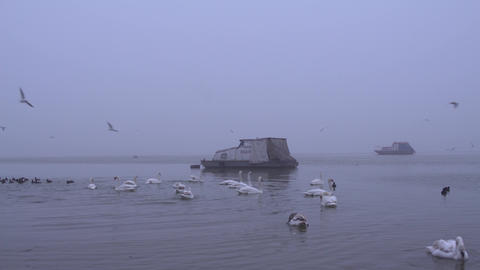 Swans Birds Flying Lake Static 4K Footage