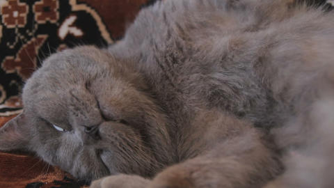 Play with lazy British Shorthair cat Live Action