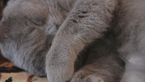 Sweet dreams of British Shorthair cat Live Action