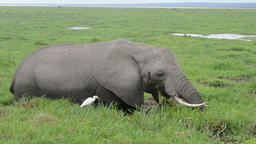 Close up of an elephant eating in a swamp Footage