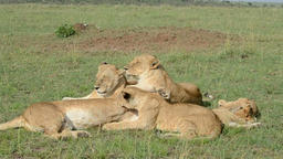 Lionesses relaxing in the bush Footage
