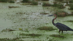 A goliath heron walks past the camera in a swamp Footage