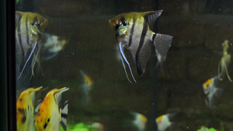 A shoal of aquarium striped fish swimming gracefully Footage