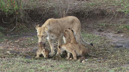 Lioness drinks with her cubs then walks away Footage