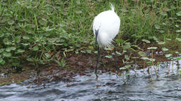 An egret times a fish perfectly and catches it Archivo