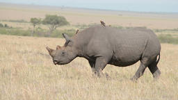 Tracking shot of a walking rhino with a radio transmitter on its horn Footage