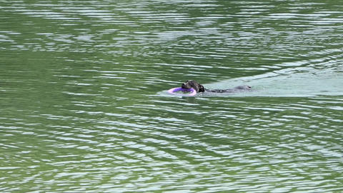 a Purebred Black Dog With a Ring in Its Muzzle Swims in a River in Slo-Mo Footage