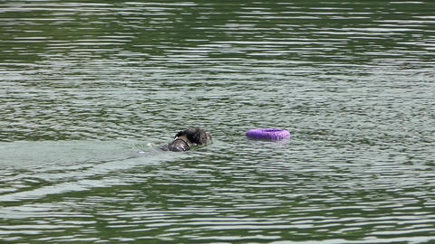 a Black Dog Catches a Ring in Waters And Swims Back in a River in Slow Motion Footage