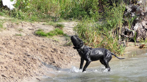 a Purebred Black Dog Swims to The River Shore, Shakes His Head in Slow Motion Footage