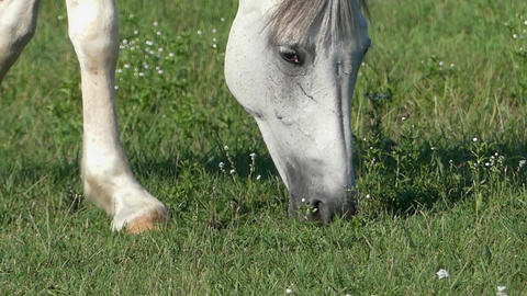 a White Horse is Grazing Green Grass on a Lawn on a Sunny Day in Slow Motion Live Action