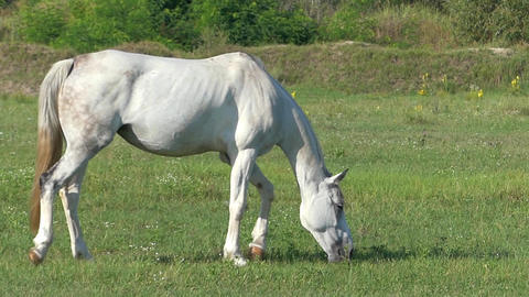 a Graceful White Horse is Grazing Grass on a Lawn on a Sunny Day in Slo-Mo Live Action