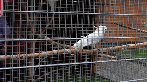 White Cockatoo Walks Back And Forth in a Cage From Metal Wire in a Zoo in Slo-Mo Footage