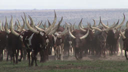 The Ankole cows of Uganda with very big white horns Footage