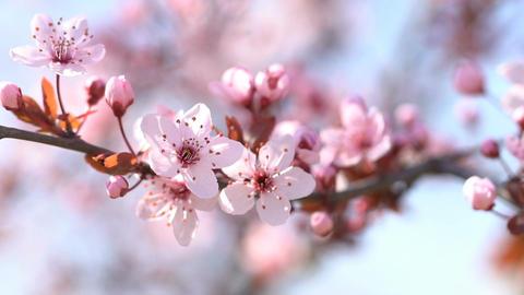 Beautiful sakura. Flowering pink cherry. Shallow depth of field Footage