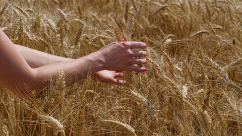 Close up of woman's hands caressing ripe wheat ears. Agricultural field at sunny Footage