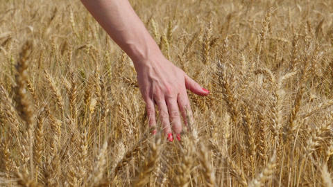 Close up of woman's hand touching ripe goldish wheat ears Footage
