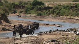 A herd of elephants walking on a drying river Footage
