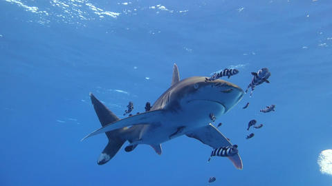 An Oceanic white tip shark ビデオ
