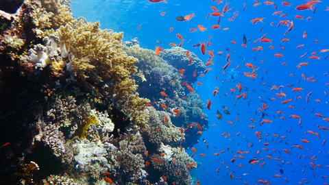 School of tropical fish in a colorful coral reef Footage