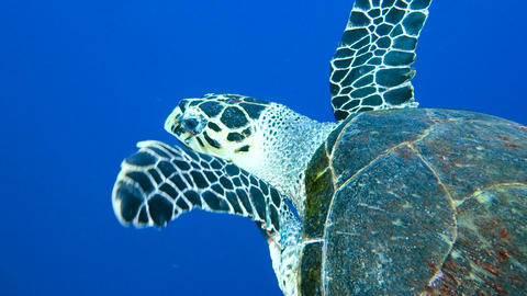 The big turtle swims slowly Footage