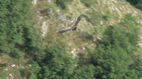 Griffon vulture predator bird flying in Serbia Footage