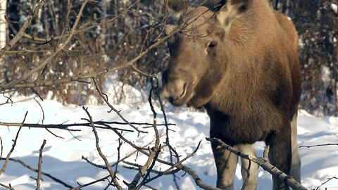 moose in winter Filmmaterial