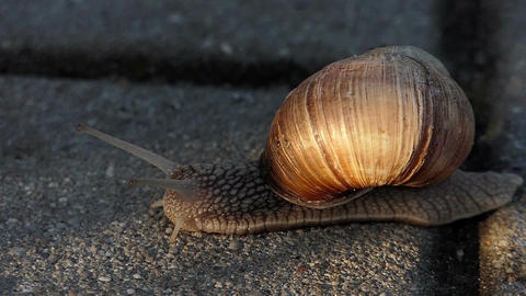 A clumsy snail creeps on a concrete surface in summer in slow motion Footage