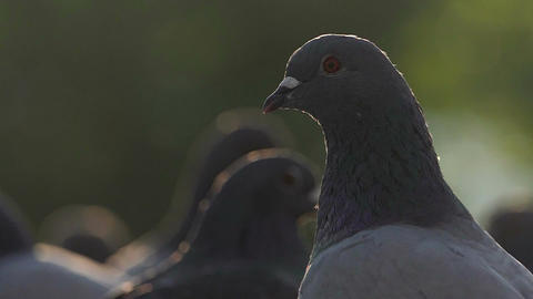 A flock of doves walk on a square. One dove looks fine in slo-mo Footage