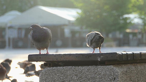 Two doves sit and walk on a concrete plate of some fence in slo-mo Footage
