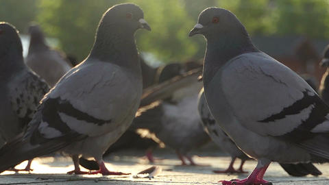 Two doves look at each other among other doves on a square in slo-mo Footage