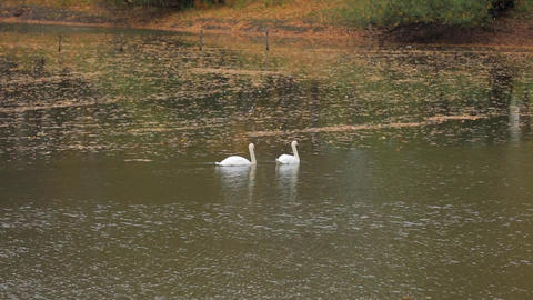 Two white swans swimming on the lake Live Action