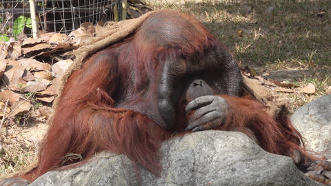 a portrait of a sad orangutan Footage