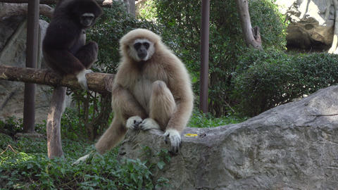 a white handed gibbon siting on a rock Footage