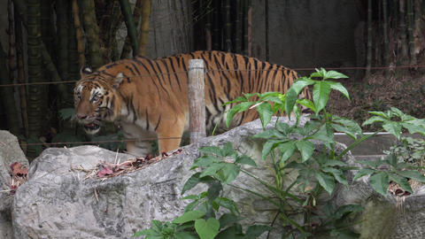 tiger walking back and forth, chiangmai zoo , thailand Footage