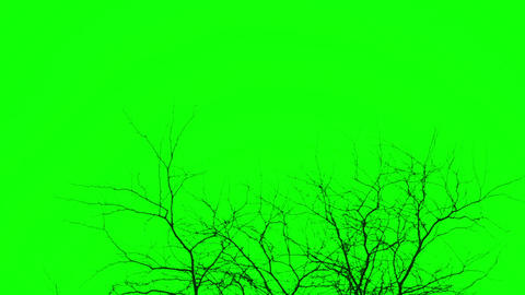 Silhouette of branches green screen, chromakey Live Action