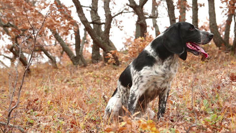 Hunting dog resting in yellow leaves Live Action