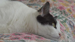 Portrait of a cat lying on a bed Footage