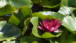 Nymphaea alba. European waterlily. Nenuphar Footage