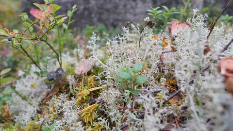 Mushroom and White Reindeer Moss in Autumn Forest. Wildlife of the North of Footage