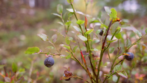Man picking blueberries in autumn forest. 4K Slowmotion Footage