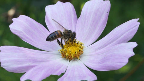 Honey bee on light pink flower Footage