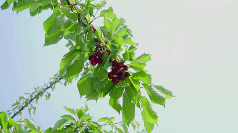 Ripe red cherries on tree grain. With blue sky background and soft wind moving Footage