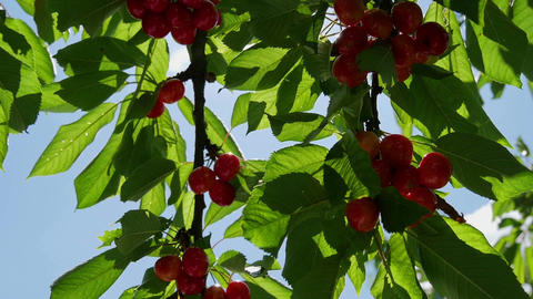 Ripe red cherries on tree grain. With blue sky background and soft wind moving Live Action
