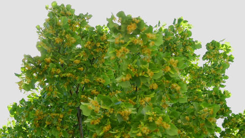 Tilia tree blooming with lots of insects collecting honey from its flowers. In Footage