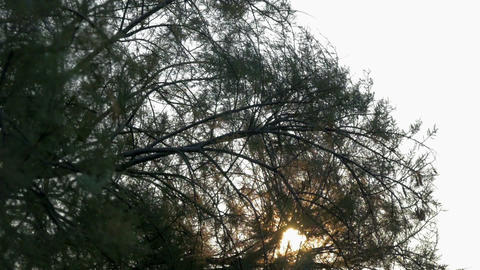 Pine tree at windy weather with sun shining through moving branches. In Footage