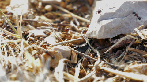 Ants working together carrying materials in anthill macro close-up in Footage