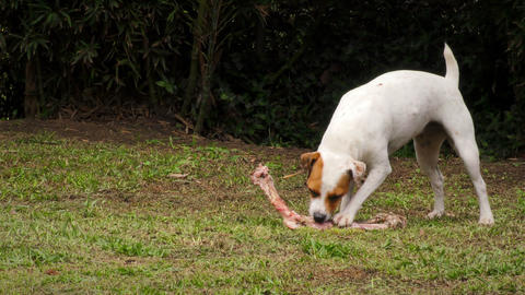 Small Pet Dog Enjoying A Raw Natural Diet Of Animal Bones Live Action