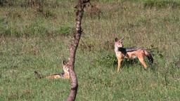 Wild dogs in Kenya field Footage