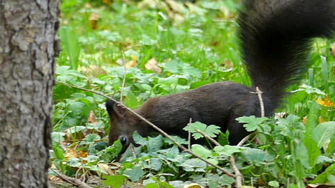 A black squirrel jumps on a green lawn near a tree in slo-mo Footage